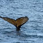 Humpback Tail, Gerlache Strait
