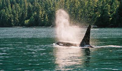 Breaching Orca, Johnston Strait, British Columbia Canada