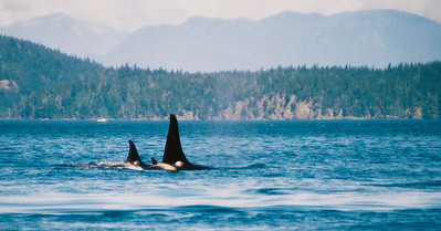 Orca Pod, Johnston Strait, British Columbia, Canada, 2004