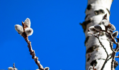 Birch Tree Buds, Sylvan Lake, Alberta, Canada, 2005