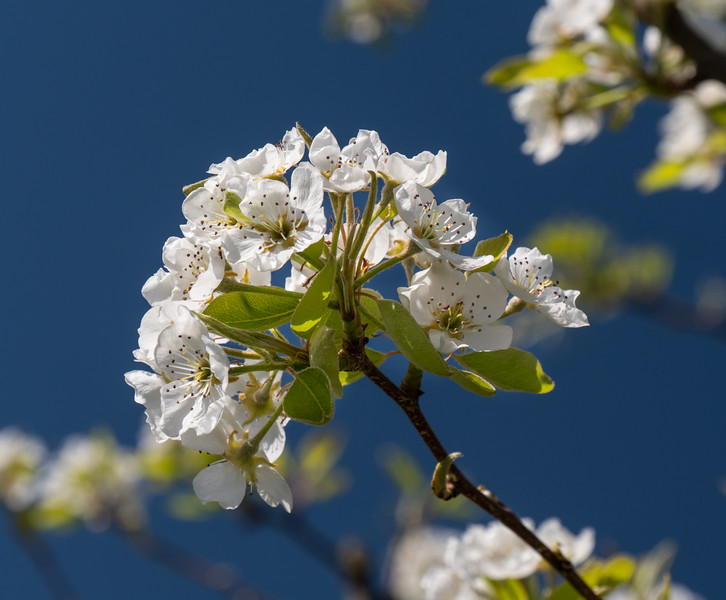 Blossoms and Blue