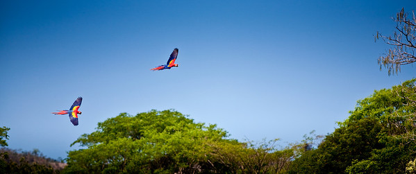 Two captive bred macaws that were just released into the wild in Playa Tambor