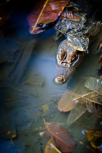 Captive baby crocodile at the nature reserve in Playa Tambor