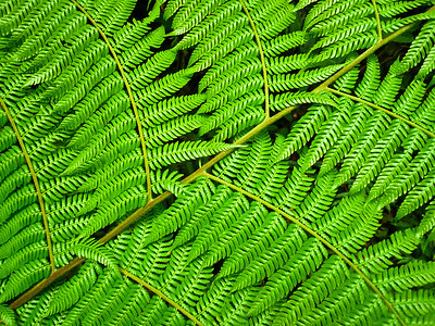 Fern leaf, Monteverde, Costa Rica