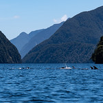 Doubtful Sound Dolphins
