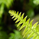 Milford Sound Fern