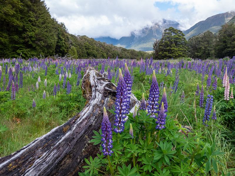 Eglington Valley Lupine