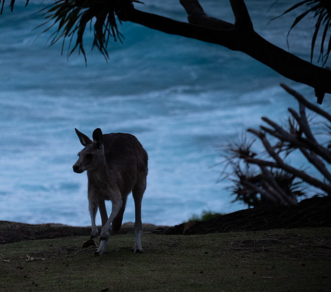 Kangaroo and Surf