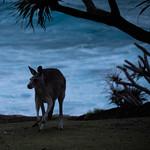 Kangaroo and Surf