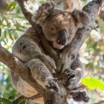 Koala at Rest
