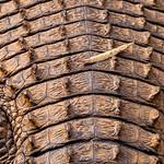Nile Crocodile Hindquarters