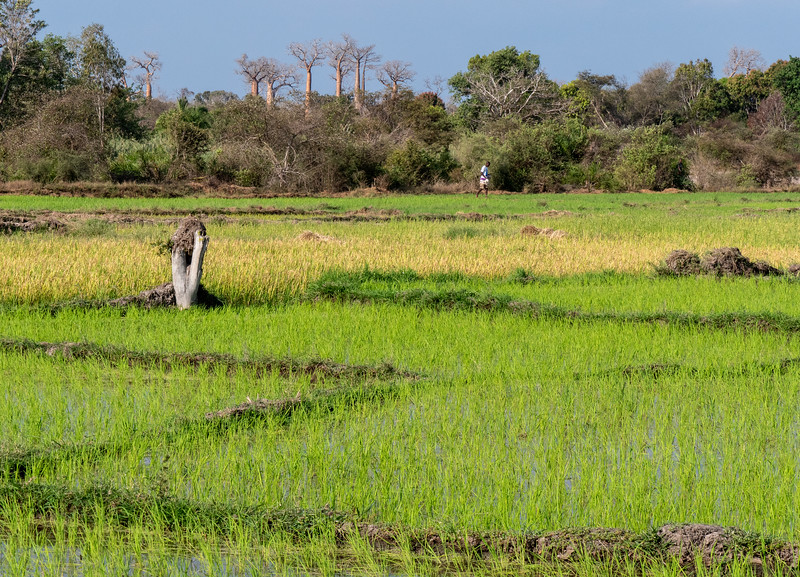 Rice Paddy and Baobab Trees