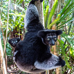 Indri Lemur and Baby