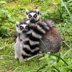 Cuddling Lemurs