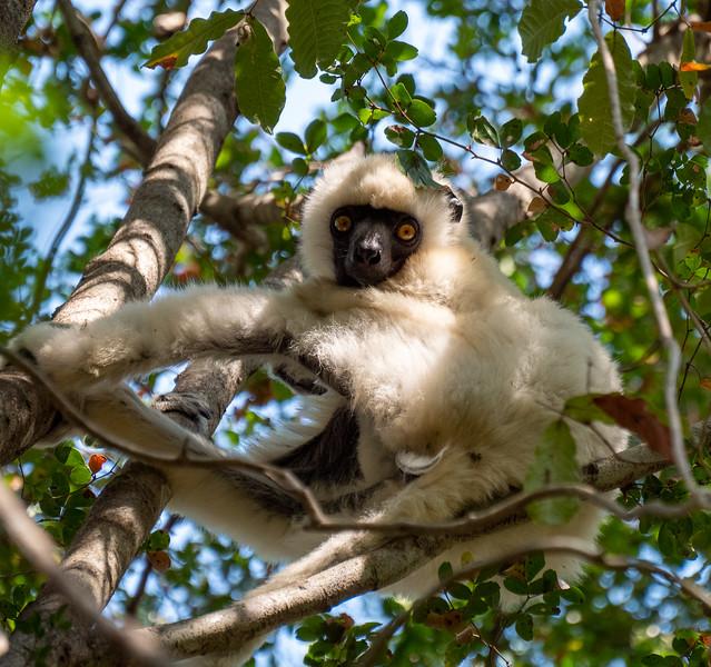 Deckens Sifaka Lemur