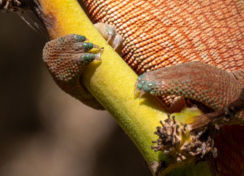 Chameleon Claws