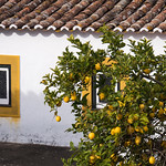Lemon Tree and Window