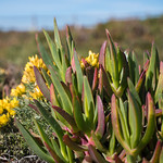 Cape Roca Succulents