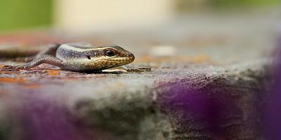 Lizard on wall in Butare, Rwanda, Africa
