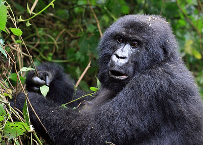 Mountain Gorilla, Volcano National Park, Rwanda, 2007