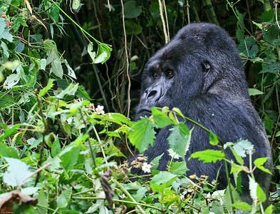 Silverback Mountain Gorilla, Volcano National Park, Rwanda, 2007