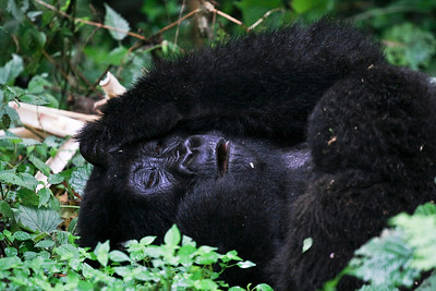 Drunk Mountain Gorilla, Volcano National Park, Rwanda, 2007