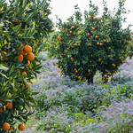 Orange Trees and Wildflowers