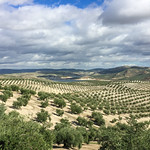 Spanish Olive Orchards