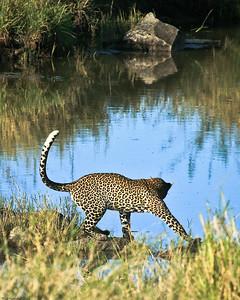 Leopard, Central Serengeti, Tanzania, 2007