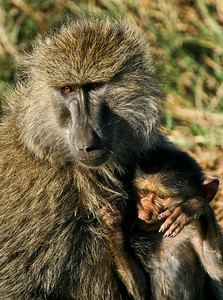 Baboon with young, Central Serengeti, Tanzania, 2007