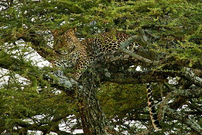Leopard in Tree, Central Serengeti, Tanzania, 2007