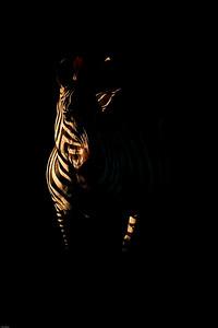 Zebra, Central Serengeti, Tanzania, 2007