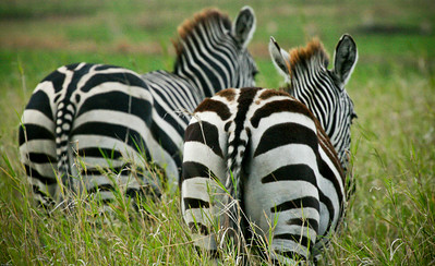 Zebras, Central Serengeti, Tanzania, 2007