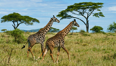Giraffes running, Central Serengeti, Tanzania, 2007