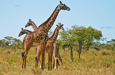 Giraffes, Central Serengeti, Tanzania, 2007