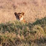 Peekaboo Cub