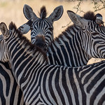 Trio of Zebras