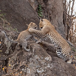 Female Leopard and Cub Play Fighting