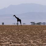 Ngorongoro Giraffes