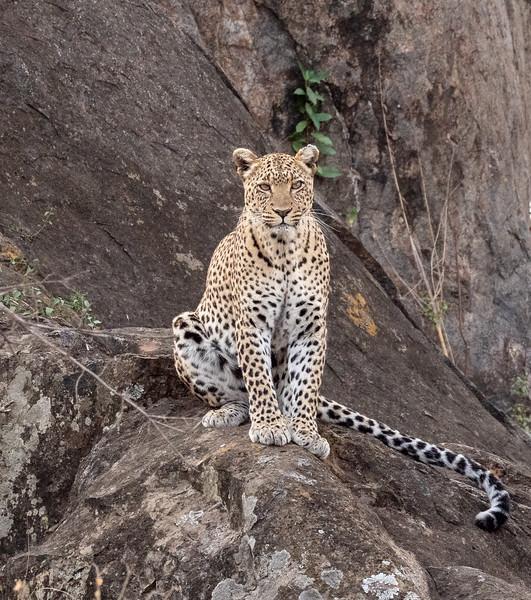 Posing Female Leopard