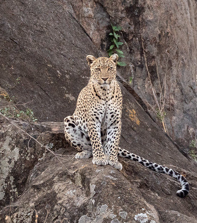 Posing Female Leopard