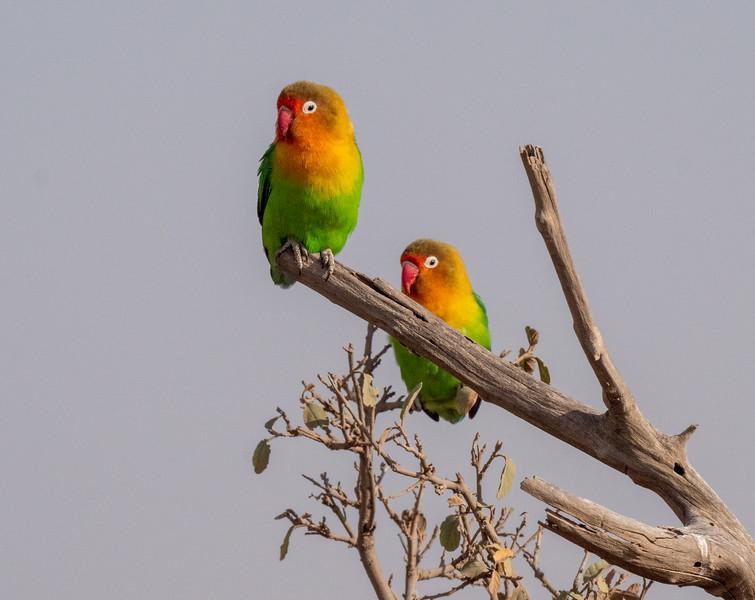 Fisher's Love Birds