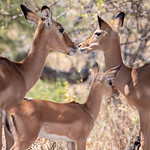 Family of Impalas