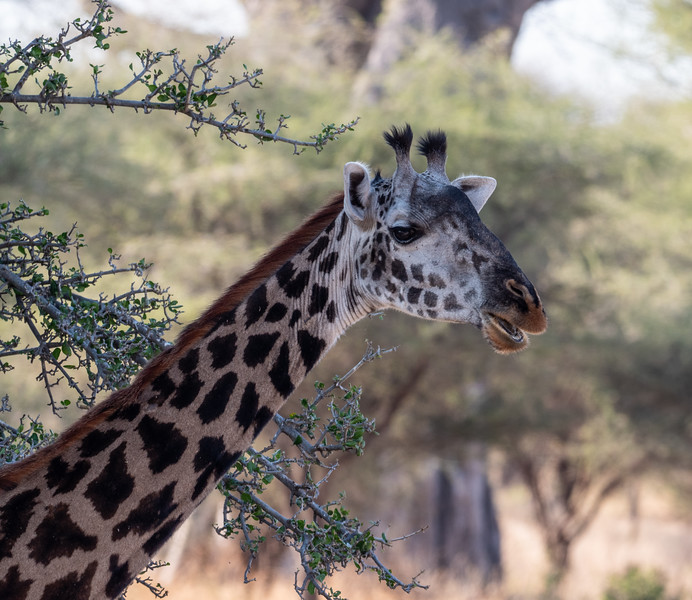 Adult Female Giraffe