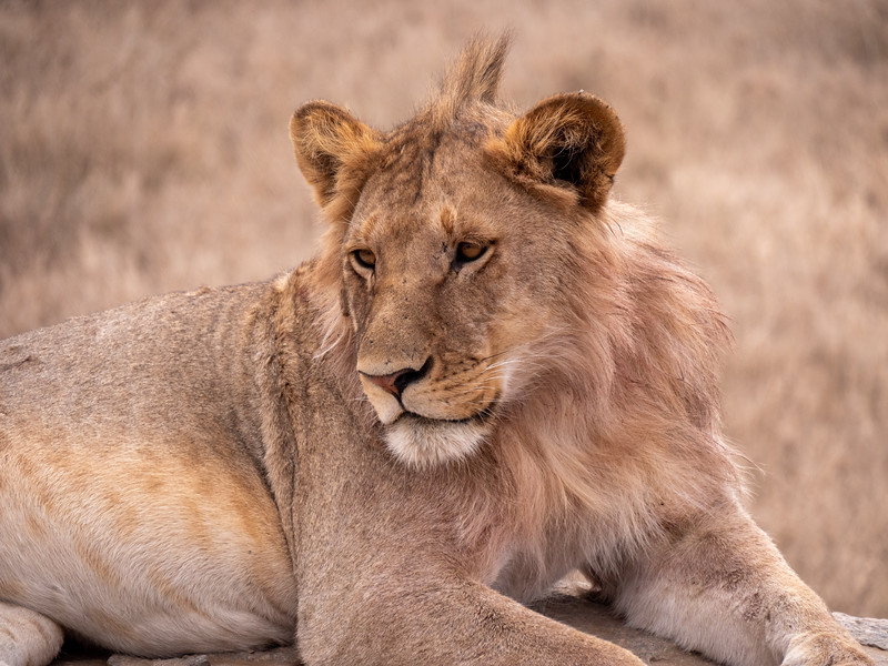 Young Adult Lion