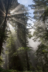 Sunlight breaking through fog among Redwood trees