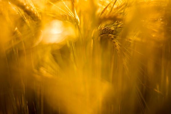 Sunset Grain