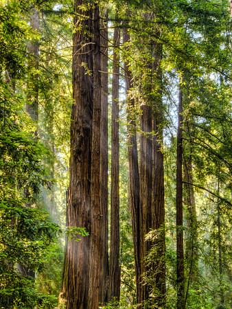 Redwood Rays