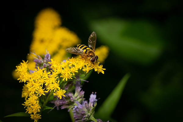 Syrphid Fly on Goldenrod