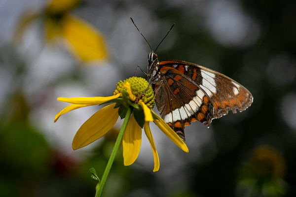 White Admiral on Greenhead Coneflower (Rudbeckia laciniata)
